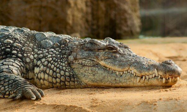crocodile on sandy beach