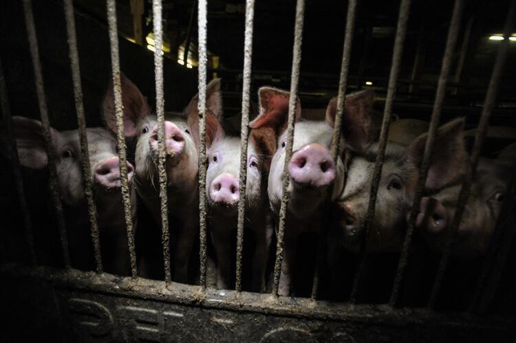 pigs behind bars at farm
