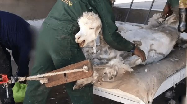 Crying-Alpacas-Thrown-and-Cut-for-Sweaters-and-Scarves