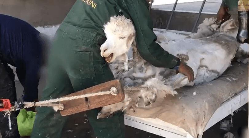 2020 Major Companies Ban Alpaca Wool