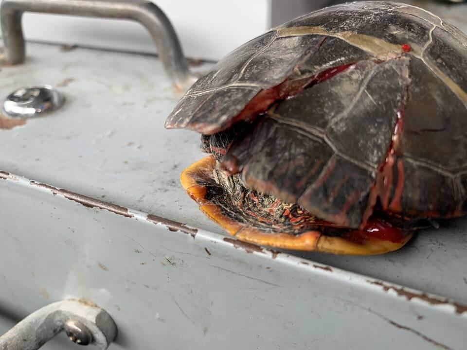 Crushed turtle