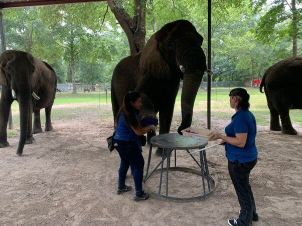 elephant painting at trunks and humps roadside zoo