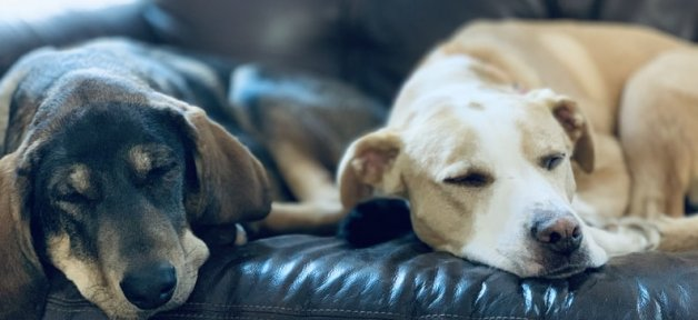 Two dogs sleep together on a couch