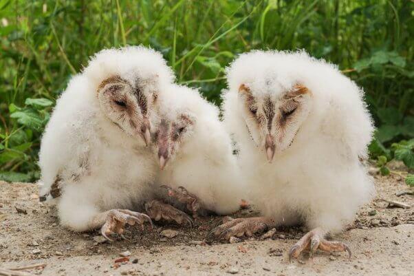 barn owls bird banding