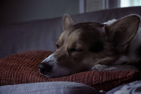Corgi sleeps on pillow