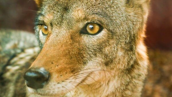 Urge Ontario's Ministry of Natural Resources to Stop Illegal Coyote Massacre!
