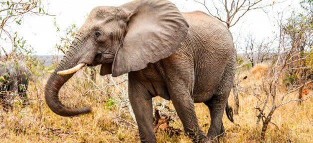 Elephant strolls through yellow grass