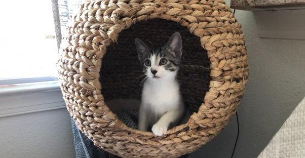 Cute gray and white kitten Zoom in cat condo