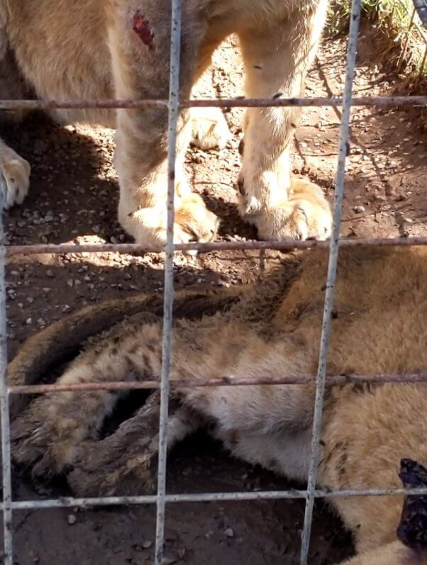 lion with apparent lesion on right forelimb at G.W. Zoo