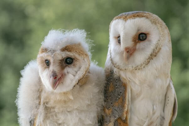 mother and daughter barn owls