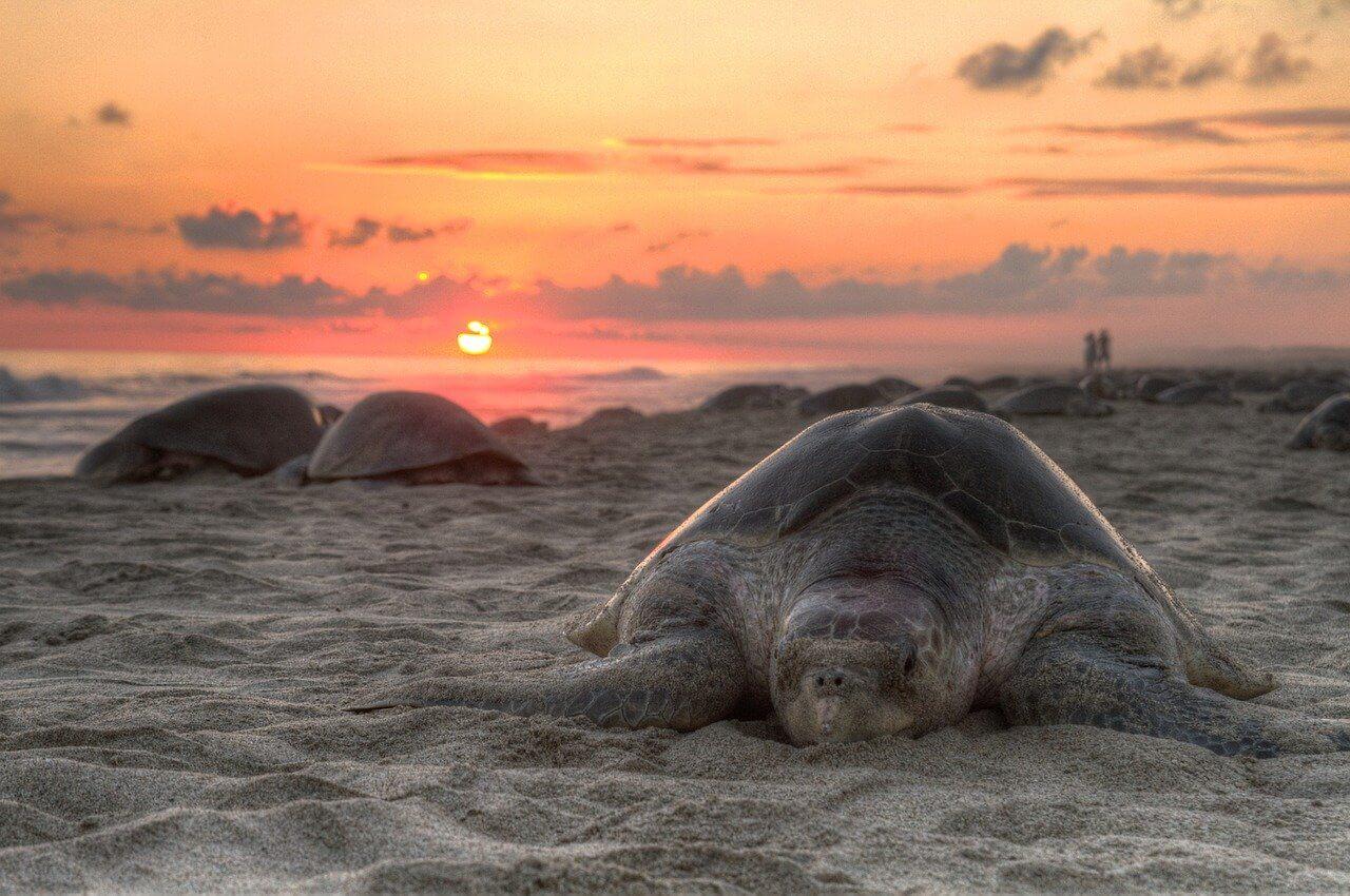 Sea Turtle at Sunset