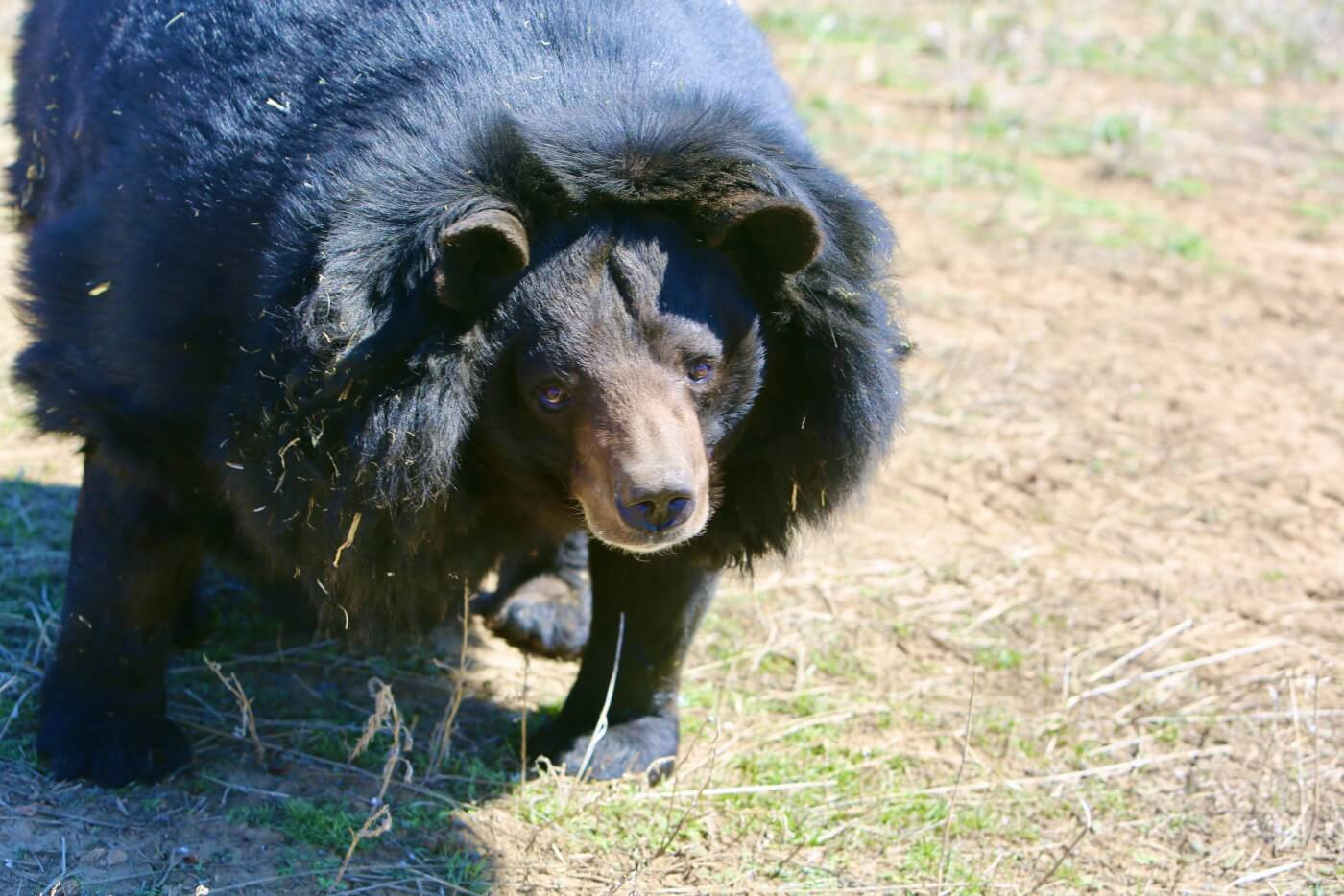 2020: Dillan the Bear Rescued from Pennsylvania Hunting Club