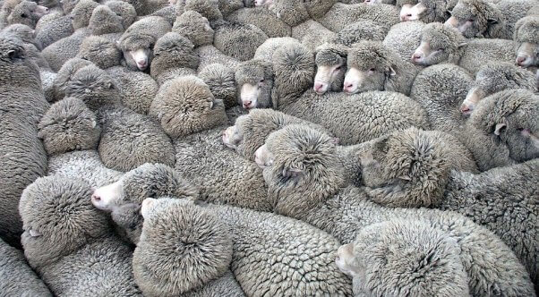 Sheep clustered in tight flock