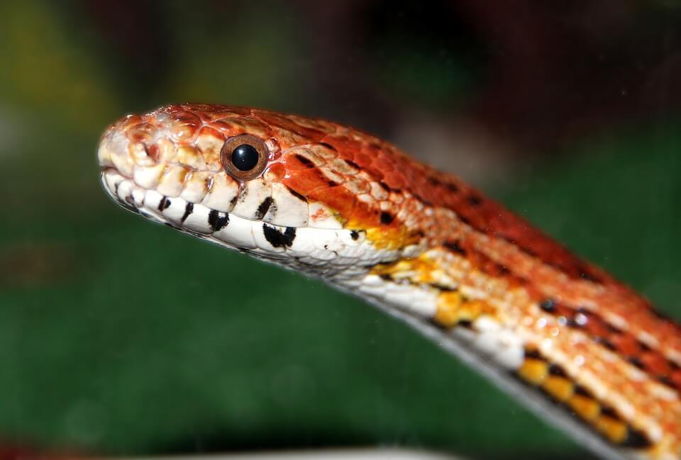 Snake who looks like a dinosaur