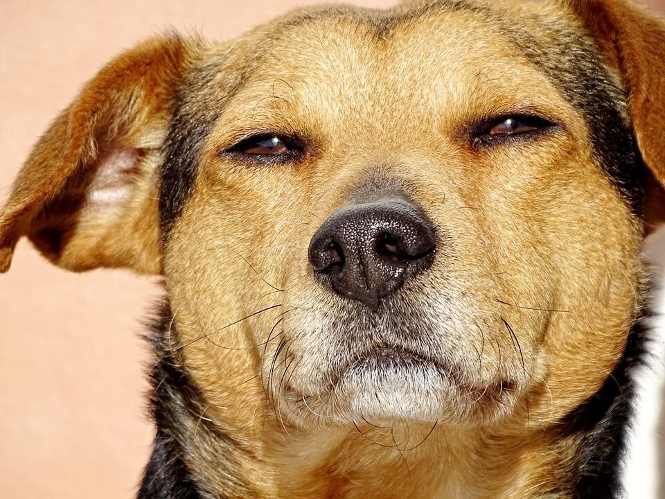dog staring wistfully