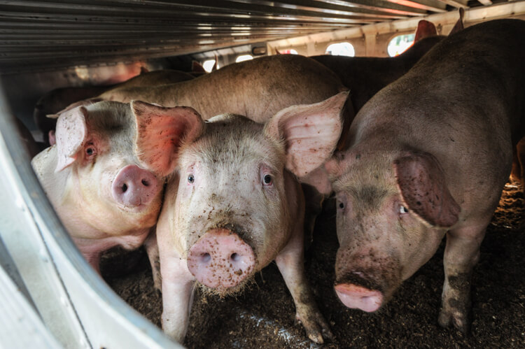 Three sad pigs look at the camera