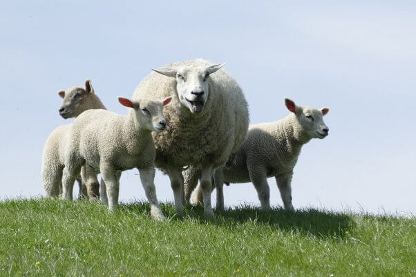 Flock of sheep gather together on hill