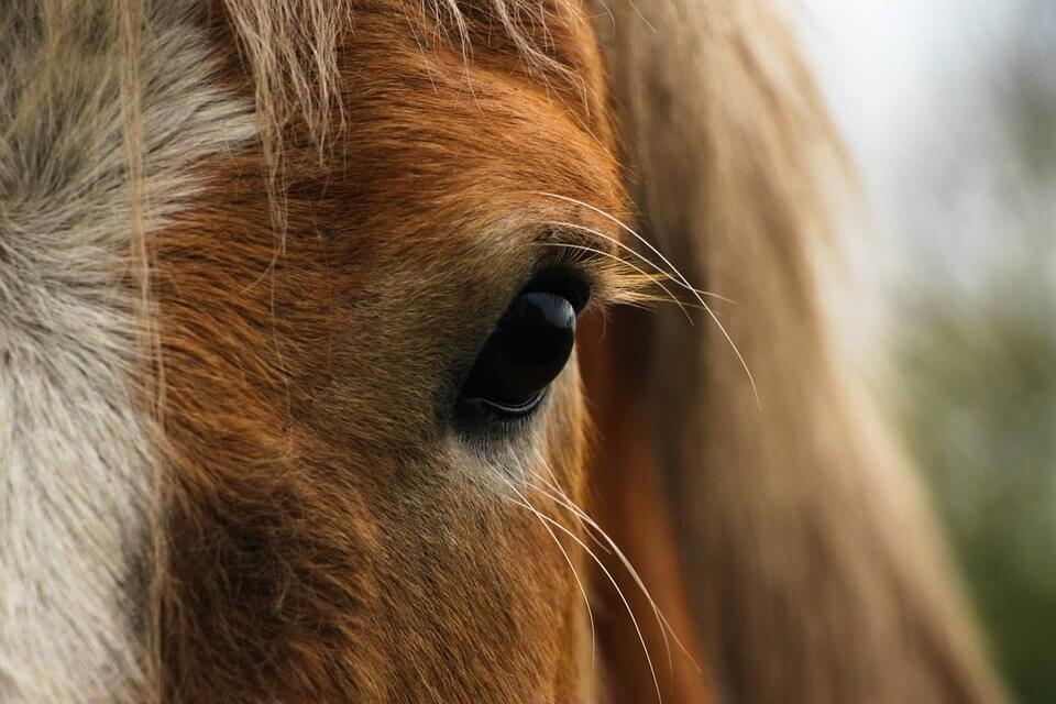 horses have the biggest eyes