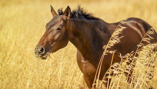 Dark brown horse in wheat field