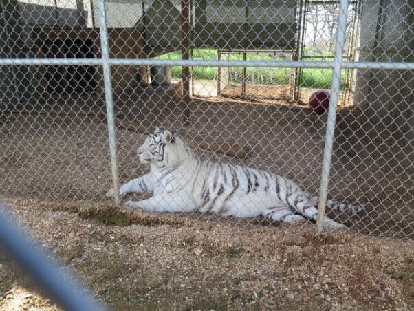 overweight tiger