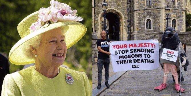 PETA U.K.'s 'Pigeon' Pleads With the Queen to Stop Sending Birds to Death Race