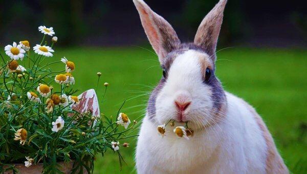 White bunny munching on white and yellow flowers