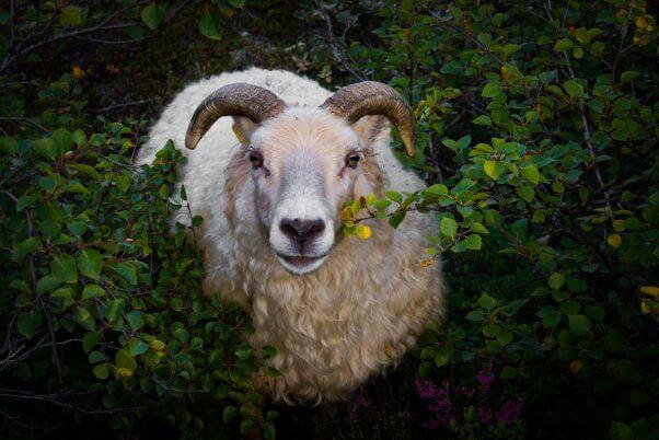 Ram with horns chews on green bush