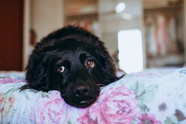 Black dog lays on floral purple and blue bed