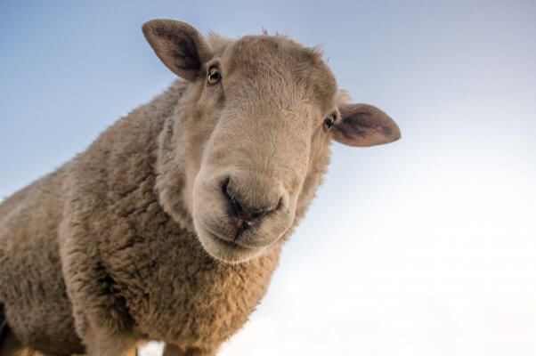 Sheep looks into camera with their rectangular eyes