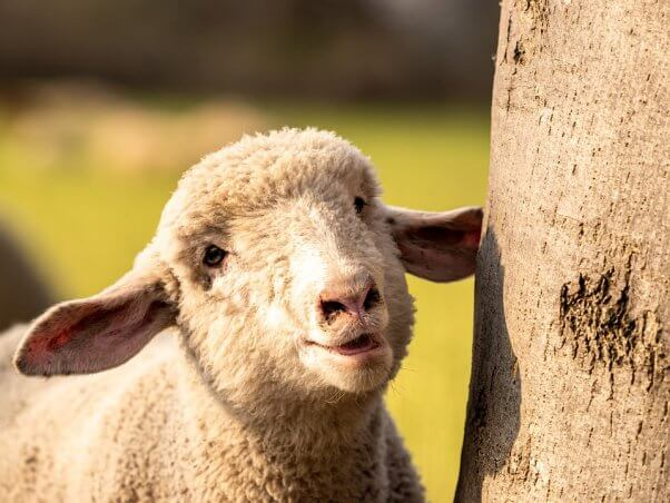 Smiling sheep stands next to tree