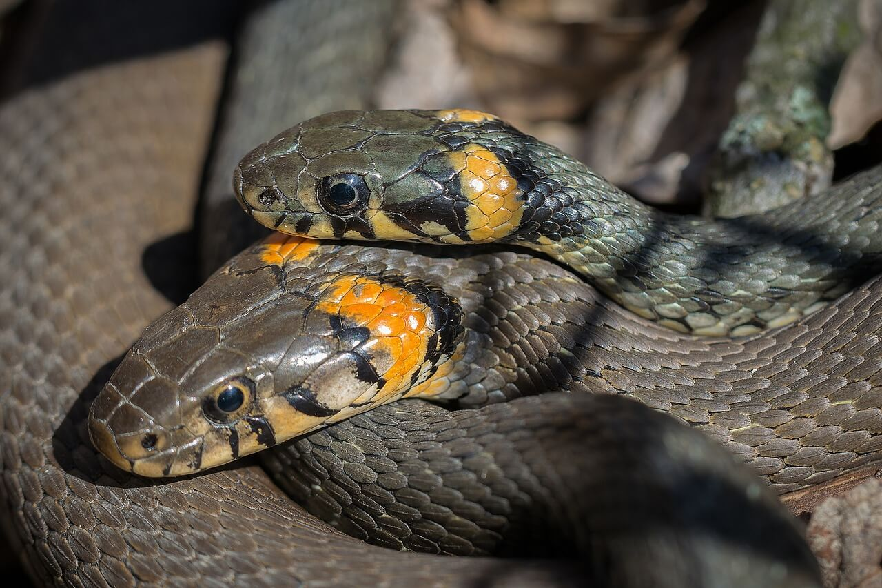 Snake Couple Mating
