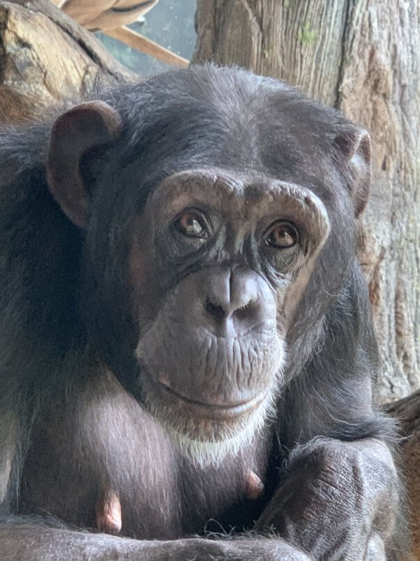 There Are No More Chimpanzees in Hollywood