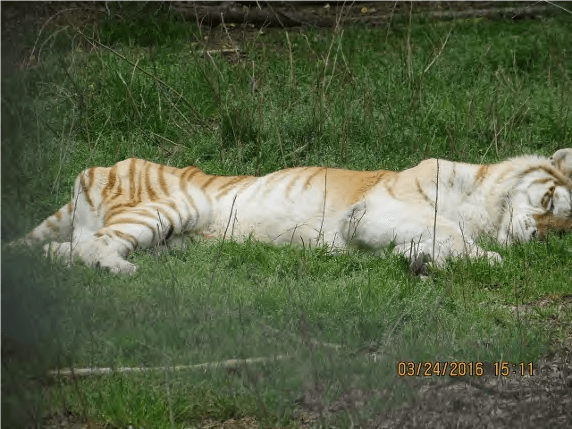 this is not the ideal weight of a tiger
