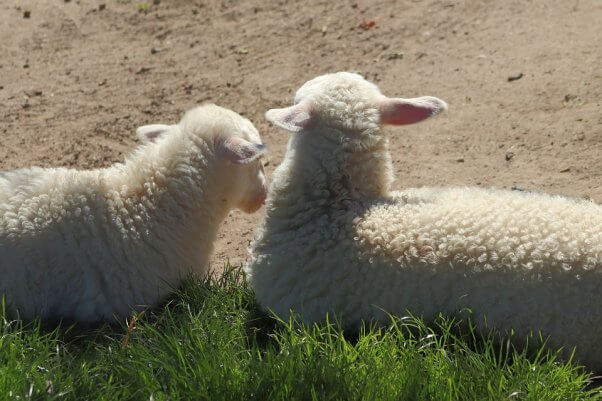 Sheep friends laying in the grass together