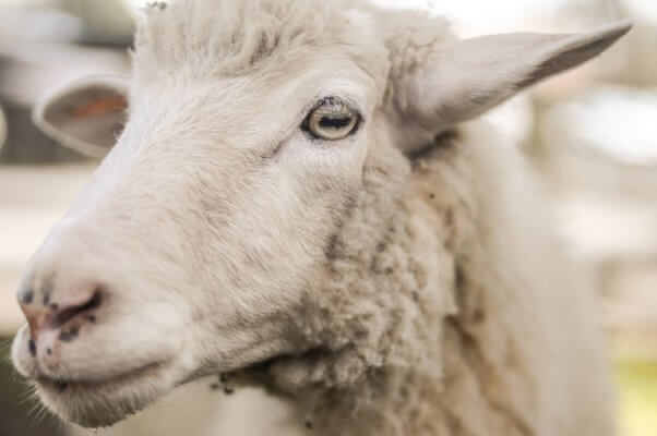 A closeup of a sheep's eye sheep facts