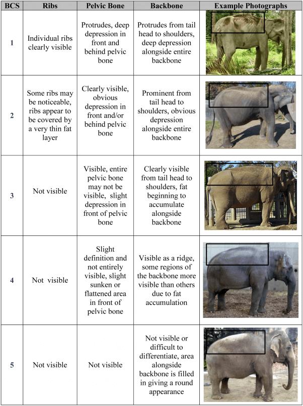 elephant body weight scoring chart