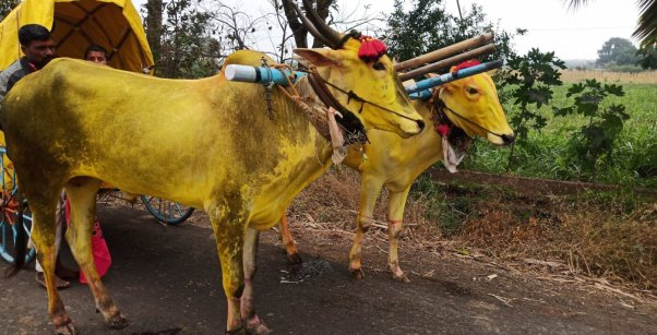 painted bullocks with cruel nose ropes