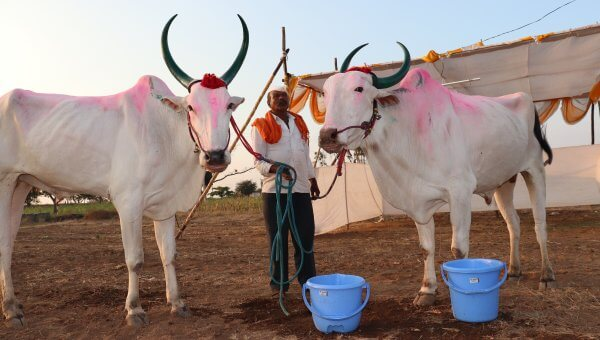 Chinchali Fair 2020 - powdered painted bullocks with nose ropes
