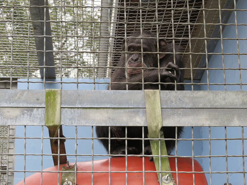 lonely chimp in cage at Suncoast Primate Sanctuary