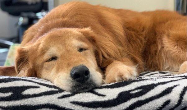 Senior rescue dog Mingo snoozes on her bed
