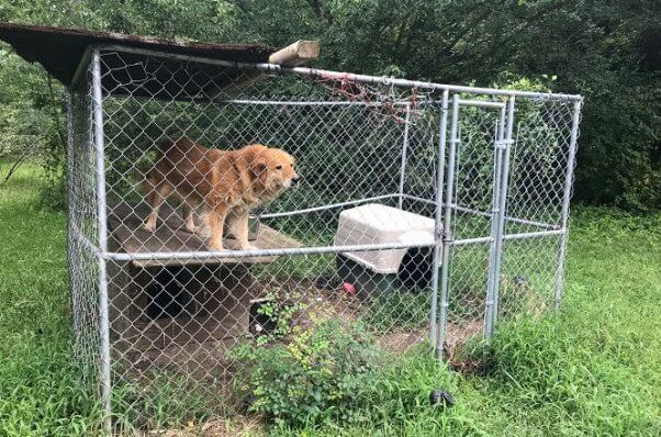 Senior dog Mingo standing on doghouse before PETA rescued her