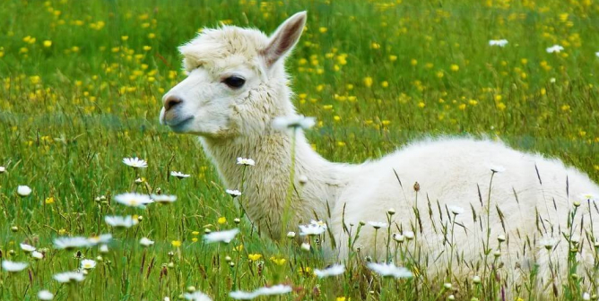 Express, Vince, and Other Top Brands Ban Alpaca After PETA Steps In