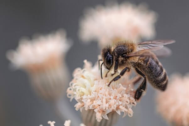 bee facts bee on pale pink flower