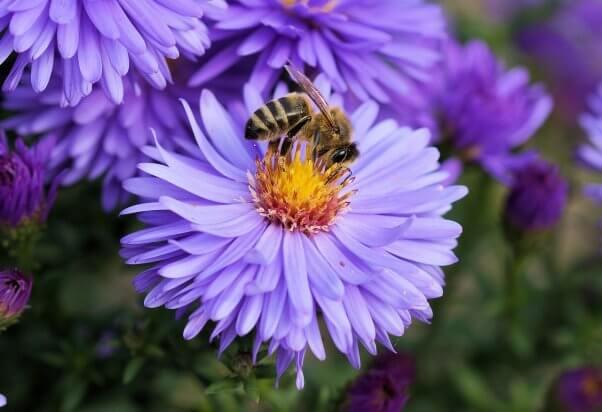 bee facts bee on purple flower