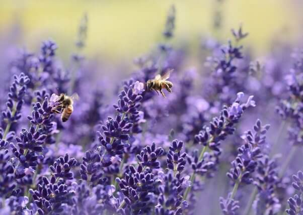 interesting bee facts bees on lavender