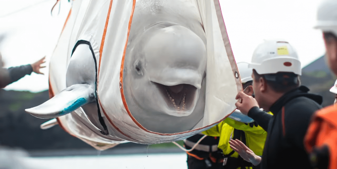 VIDEO: Belugas Return to Sea for First Time Since Capture Years Ago