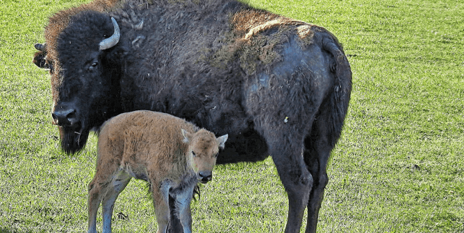 Bison Defends Calf From Photo-Taking Tourist Who Got Too Close (Video)