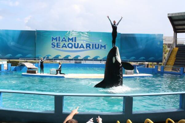 trainer stands on orca lolita's face at the Miami Seaquarium