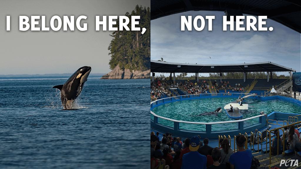 lolita the orca belongs in the ocean