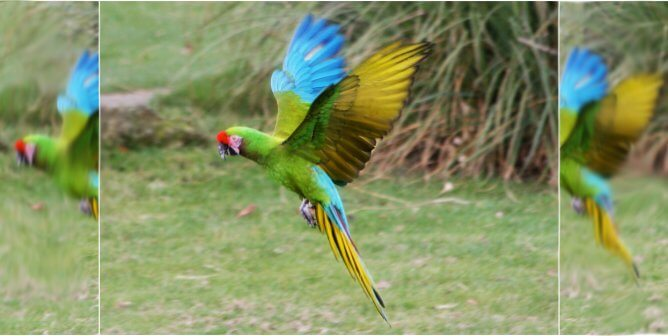 VIDEO: Terrified Military Macaw Screams After Being Shot